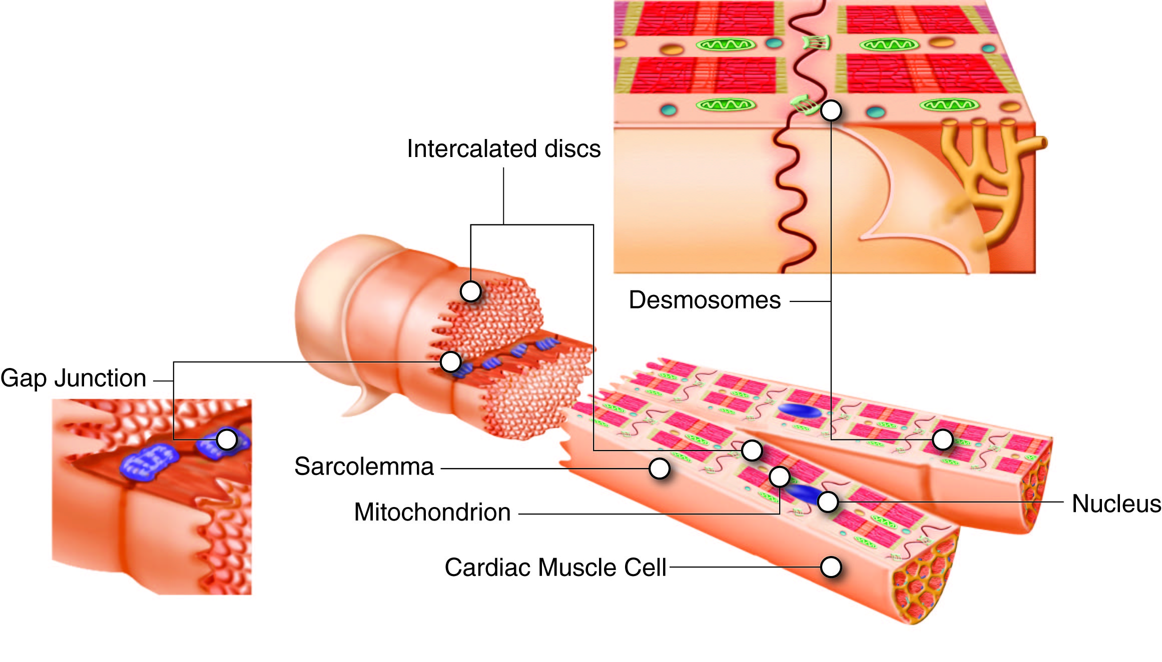 A Look At The Division Of Heart Muscle Cells Or Myocytes Term