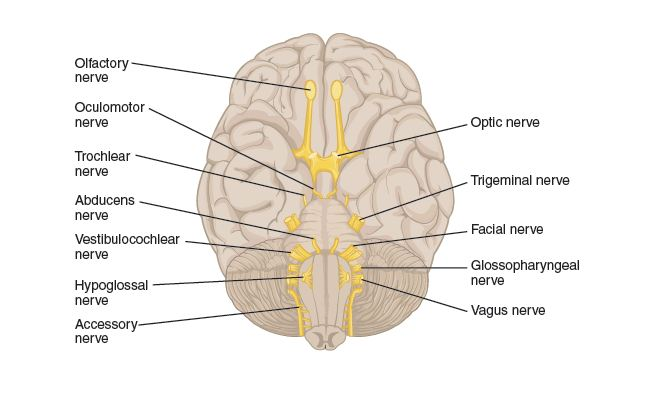 cranial nerves worksheet calleveryonedaveday. Black Bedroom Furniture Sets. Home Design Ideas