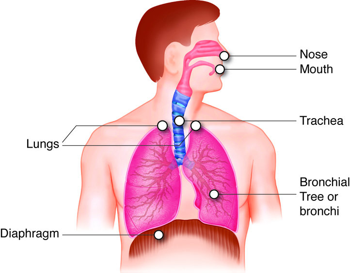 Respiratory system labeled diagram of the respiratory system organs and their locations ccuart Image collections