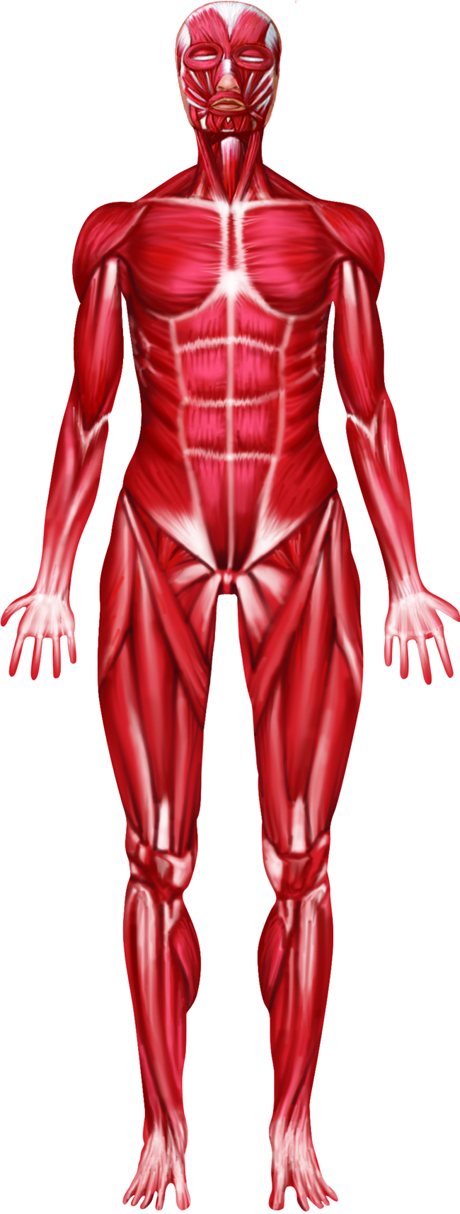 muscular system related keywords