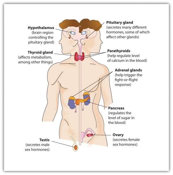 The endocrine system the major glands of the endocrine system ccuart Image collections