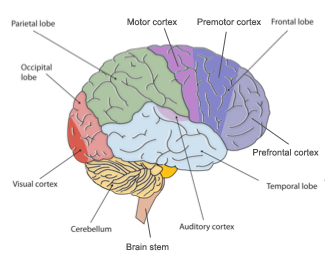 Brain changes and cognitive development in adolescence right hemisphere of brain with cortical regions of the frontal lobe and occipital lobe highlighted ccuart Gallery