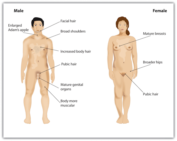 Development Of Male Sexual Characteristics