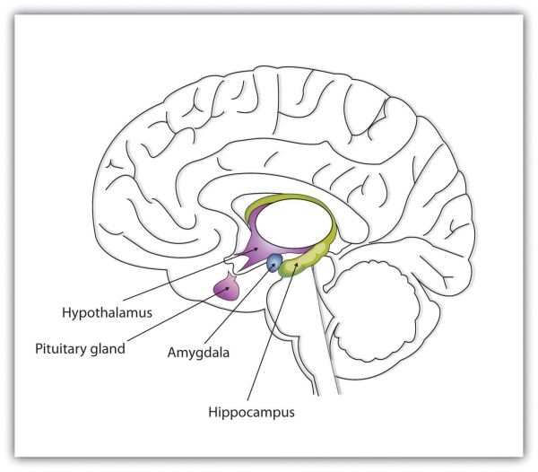 The limbic system ccuart Image collections