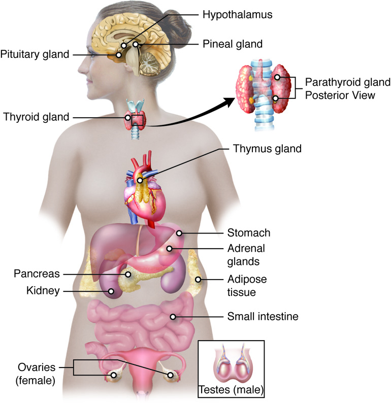 The pituitary gland and hypothalamus diagram of glands in the endocrine system ccuart Image collections