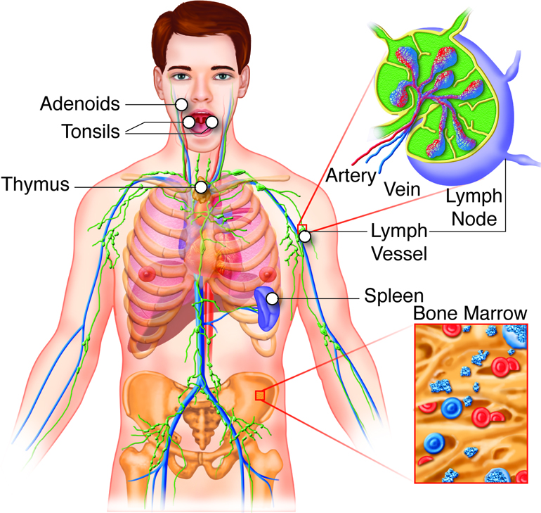 Lymphatic system and immunity diagram of the lymphatic system ccuart Image collections