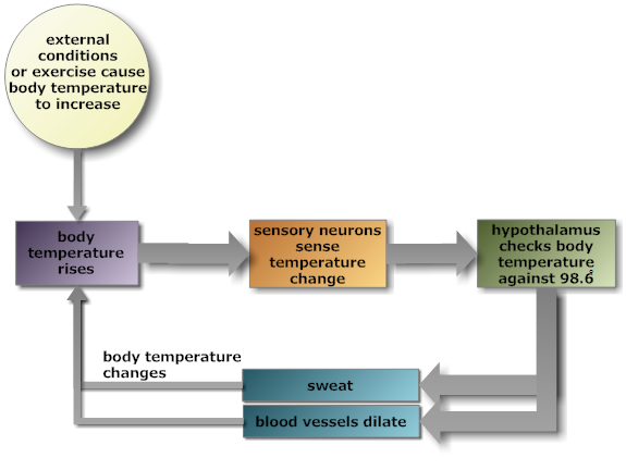 Negative feedback loops graphical display of the high body temperature feedback loop ccuart Images