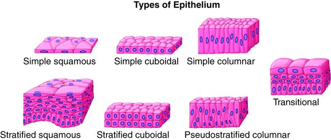 types of epithelial tissue