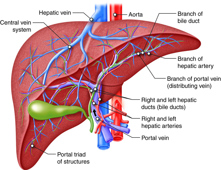 Liver circulation anatomy