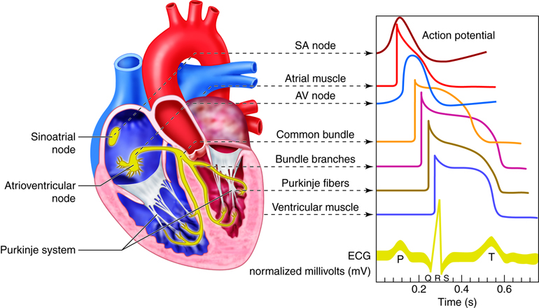 waveforms of electrical signals ociated with different parts of the heart