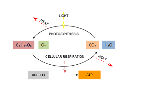 Photosynthesis cellular respiration cycle cellular respiration and photosynthesis are interdependent the glucose and oxygen produced by photosynthesis are used up in cellular respiration ccuart Images