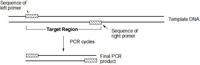 Polymerase chain reaction pcr the target region is defined by the sequences of the two primers the final pcr product contains the sequences of the two primers plus any dna sequences pronofoot35fo Image collections