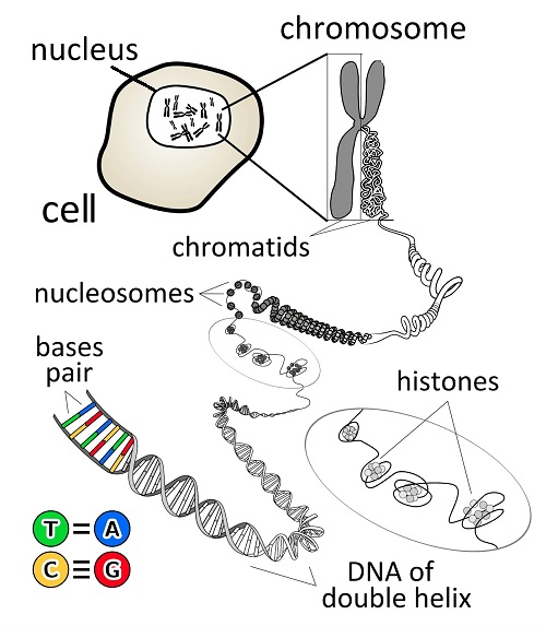 What is a gene by kes47 chromosome en cc by 30 ccuart Images