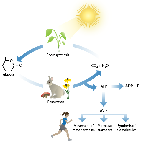 Photosynthesis cellular respiration cycle this image shows the cycling between the products of photosynthesis and cellular respiration the two processes are intimately linked ccuart Images