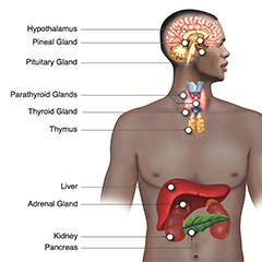 an anatomical diagram of a man, labeling parts in his head, throat, and upper abdomen