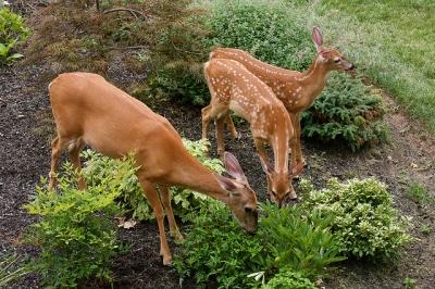 deer feeding together in some brush